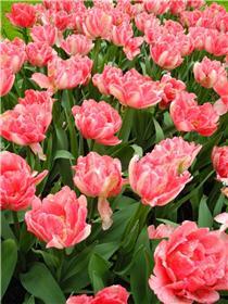 Рай тюльпанов или Кёкнхов - 2012 B074fe864780t