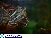 Черный-Акватер с красноухой 88647c2e8796t