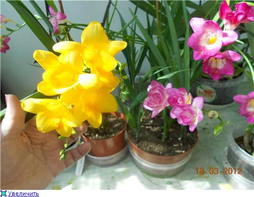 Выгонка луковичных. Тюльпаны, крокусы и др. - Страница 9 2142c8722767t