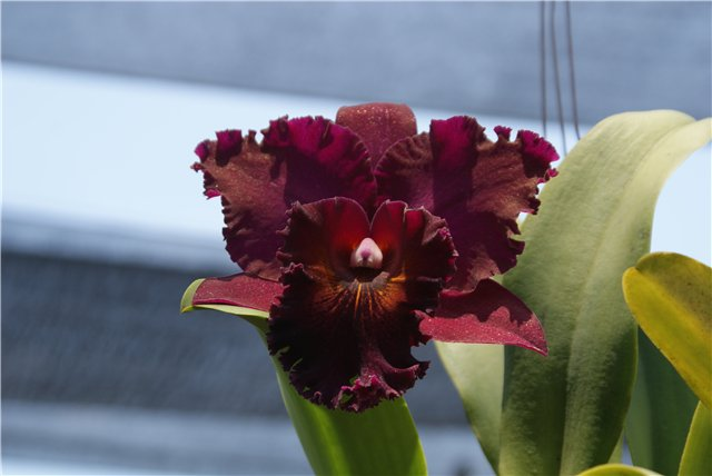 Орхидеи и прочая красота на о. Пхукет - Страница 19 Ae9b38d8bc1a