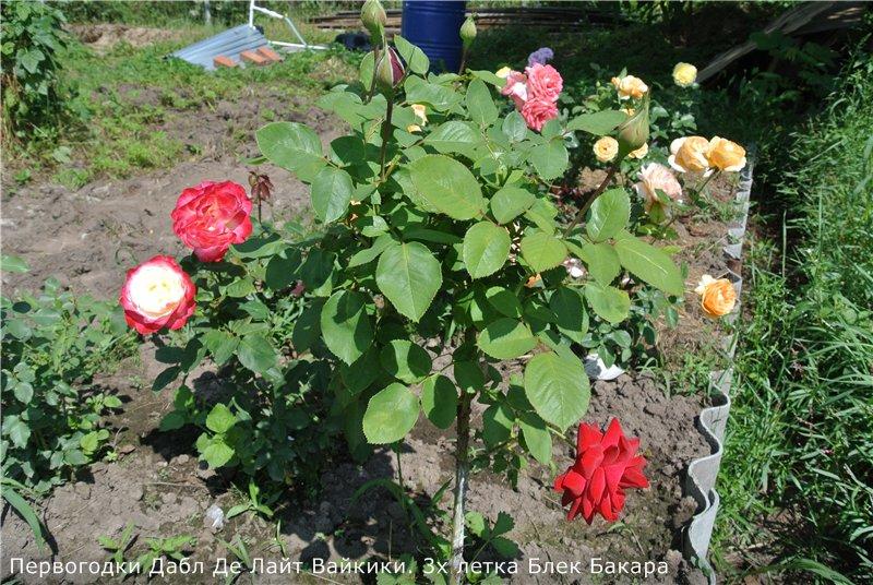 Розы-2013 Cfa7aec41dd2