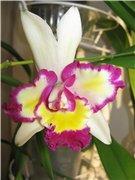 Странности и интересности наших орхидей - Страница 7 843e1dad0086t