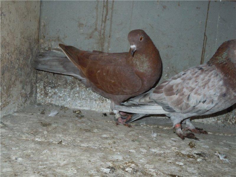 интерьера выполнена поясные бакинские голуби фото роман зарождается бурно