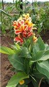 Садовые многолетние цветы - давайте меняться - Страница 3 Ff6f809b99ect