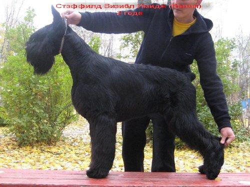 ризеншнауцер,Сыктывкар,Россия 8908a2023996