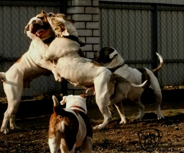 Собаки питомника Carpen Diaz - Страница 2 87a3bb434556