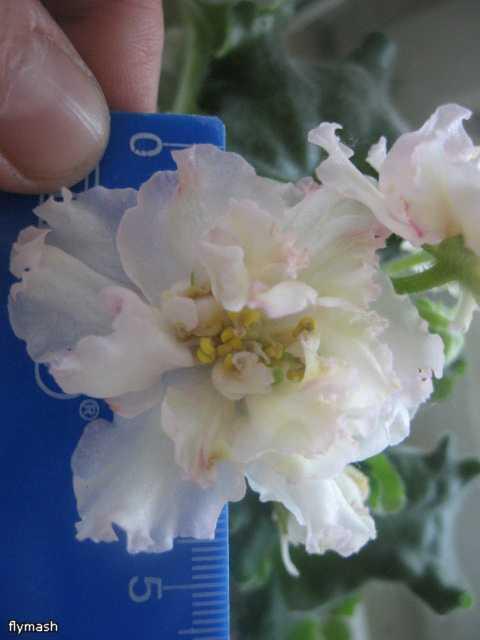 Sunkissed Rose     (LLG/D. Herringshaw) - Страница 4 Dbdd2430a7bb