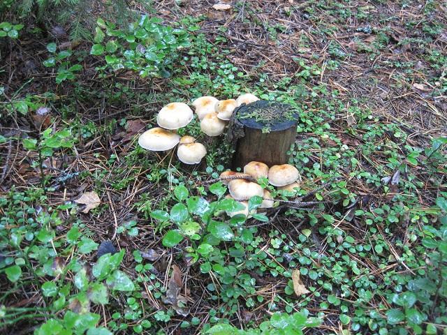 За грибами в Конаково (Тверская область, Волга)! F5cac8dddb6b