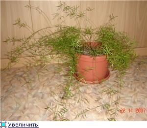 Аспарагусы из семян B1207f89d952t