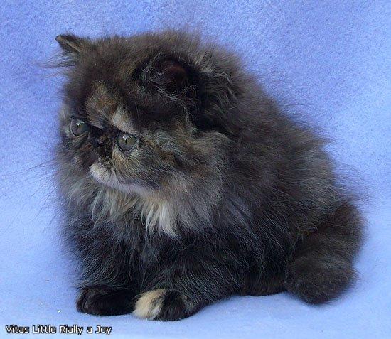 VITAS LITTLE - питомник персидских и экзотических кошек - Страница 4 9c3b9c715e37