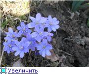 Весенне цветущие C2304c7815a1t