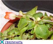 Бальзамин-уход, выращивание, размножение - Страница 2 F7fbbd39f4eet