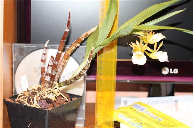Galeandra leptoceras и другие виды 6b4478f2e34d