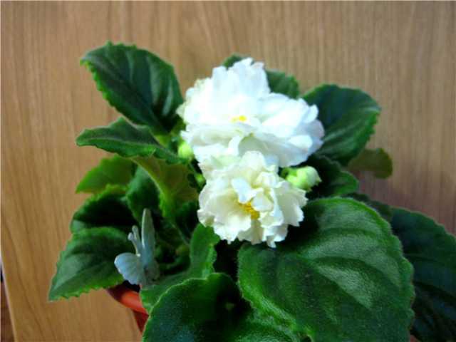 Как добиться обильного цветения фиалок. 105a6222ed0e