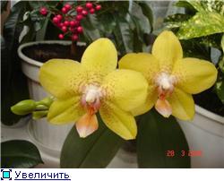 Фаленопсисы гибридные 72d4eb7df651t