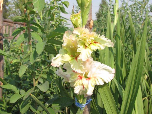 Мои садовые - Страница 2 Ec332673b4d4