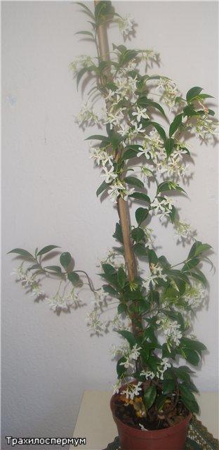 Растения из Сочинского питомника - Страница 2 97e9c1e700f9