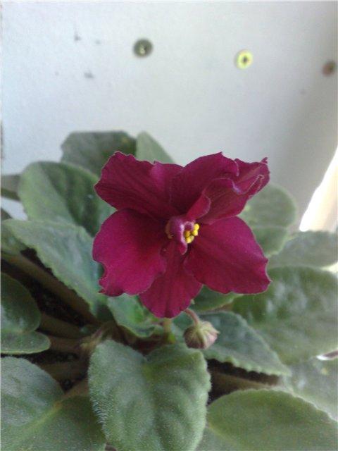 Продам цветущие фиалки в Алматы D46def7bca16