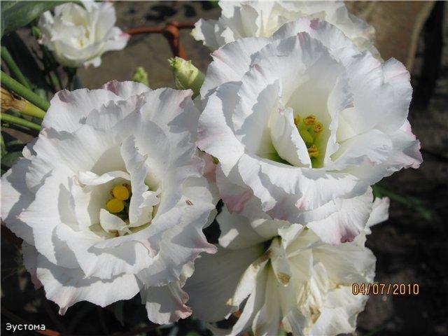 Мои цветулечки 5f50291d1dc1