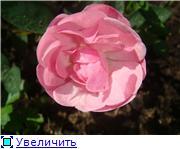 Розы в комнатной культуре 5aef9e523b01t