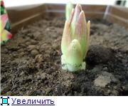 Горшечные лилии Da10b55b7f8at