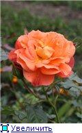 Розы 2011 7f15e2068728t