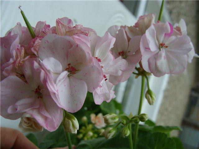 Весеннее  цветение (Хваст от Веры) - Страница 8 6b7e35ea8de8