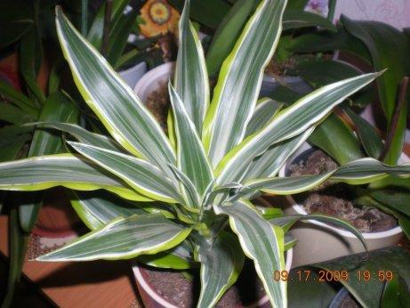 Драцена  Frag Lemon Lime 21dd6f4b4411