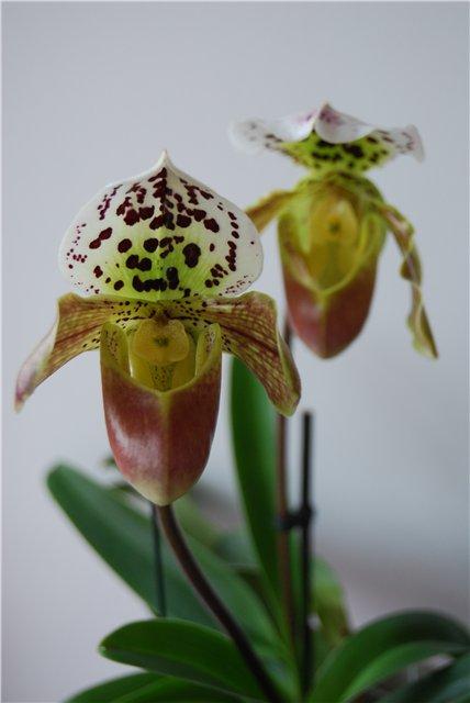 Разведение орхидей. - Страница 11 944bfa2b6231