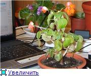 Бальзамин-уход, выращивание, размножение - Страница 2 7c4846daf2f1t