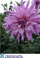 Георгины в цвету - Страница 2 9450df76269bt