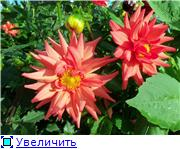 Георгины в цвету - Страница 2 6a75a335f8dct