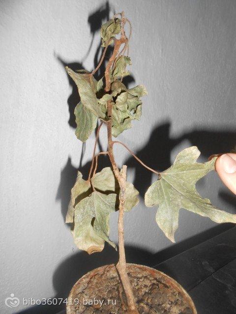 Помогите опознать растение. - Страница 5 6c455f3bdfd0