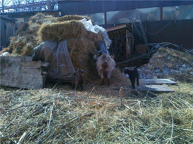 Козы, козлята и козлы)))))) - Страница 5 6c78c8669b85