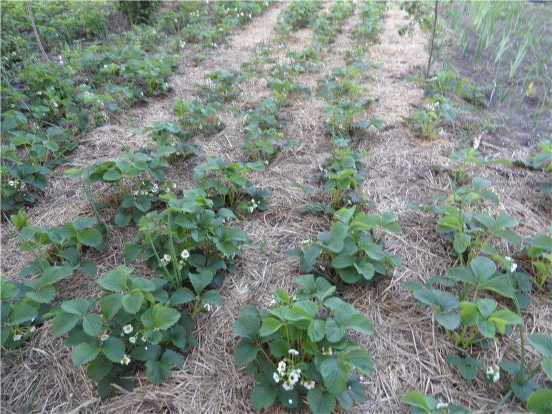 Земляника садовая  826f47f4b262