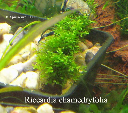 Аквариумные растения - Мхи 27a52f2f477f