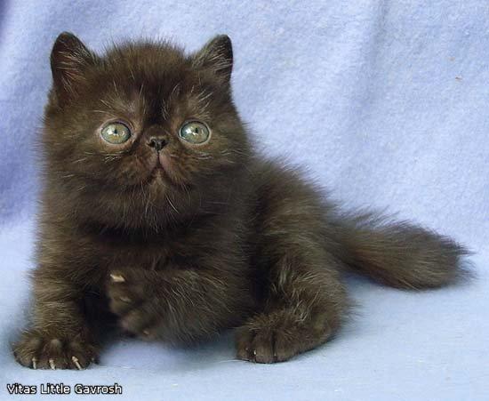 VITAS LITTLE - питомник персидских и экзотических кошек - Страница 4 D0a1291174e8