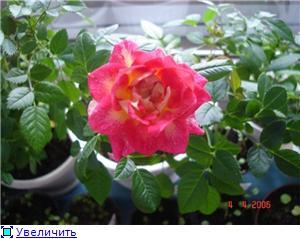 Розы в комнатной культуре 1c8bb0af93bct