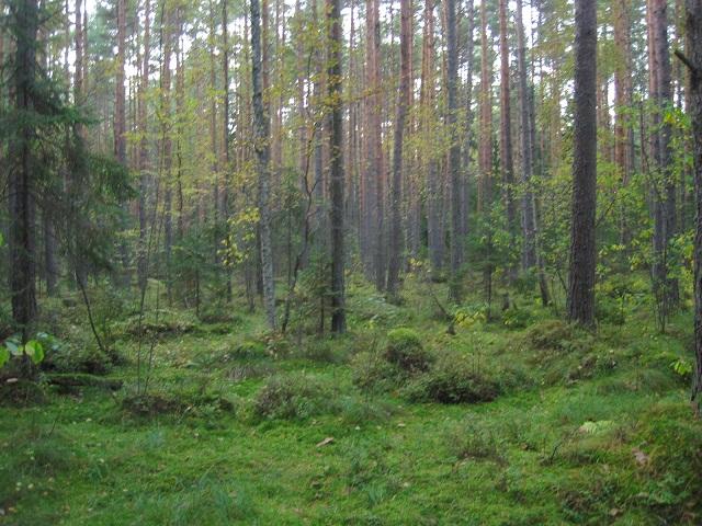 За грибами в Конаково (Тверская область, Волга)! 931d526fc1e2