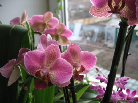 Разведение орхидей. - Страница 11 Cf2ae1dab656
