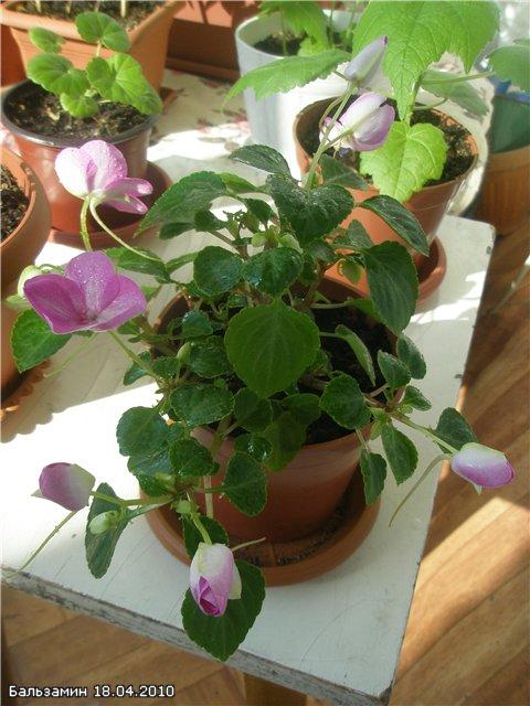 Бальзамин-уход, выращивание, размножение 52b8e12b89d9