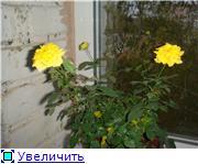Розы в комнатной культуре 15dcd306eaf9t