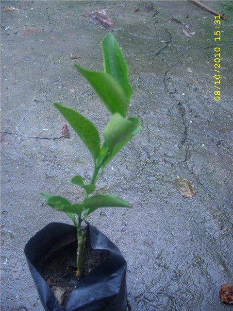 Растения из Сочинского питомника - Страница 3 Bcf4968ab45c