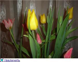 Выгонка луковичных. Тюльпаны, крокусы и др. B4e0dca3a8c2t