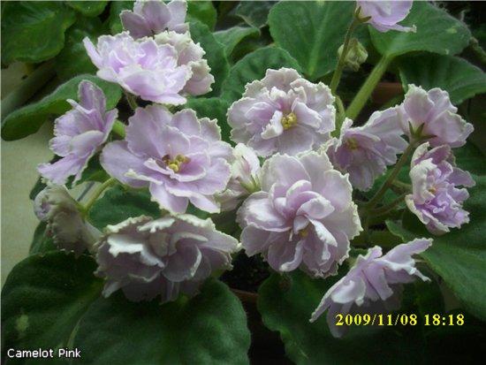 Camelot Pink 05bc1a0f949d