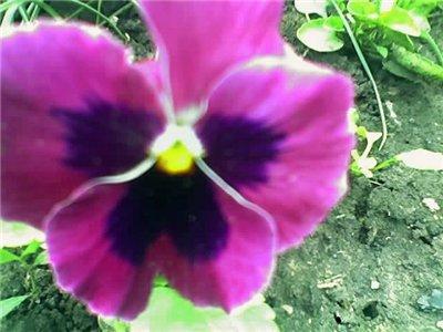 Виола, анютины глазки, фиалки садовые 99dfe0547637
