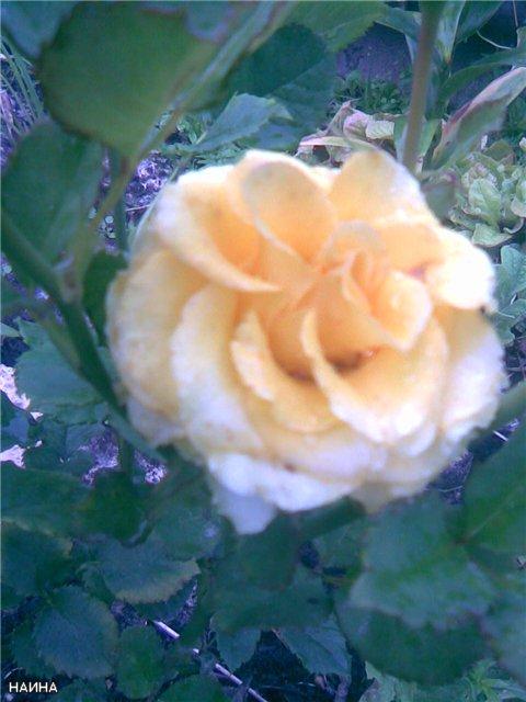 <K> Украсим розами любовь!  Фотовыставка. Cfce80e691cf