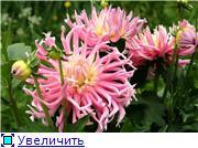 Георгины в цвету D0c2c096960ft