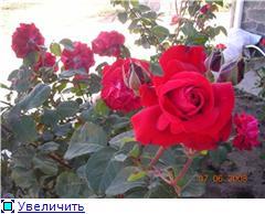 Мои любимые цветы- розы - Страница 3 23a1a57cc668t