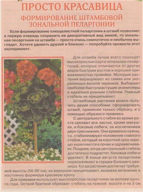 Пеларгония (Герань) - Страница 2 9a9eca611238
